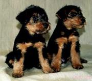 Вельштерьера щенки в Самаре,  возможна доставка в Уфу